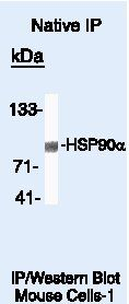 HSP90 alpha Antibody (PA5-16341) in Immunoprecipitation