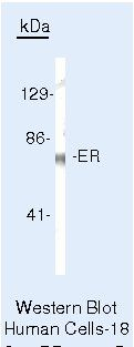 Estrogen Receptor alpha Antibody (PA5-16440) in Western Blot