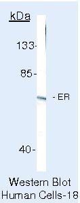 Estrogen Receptor alpha Antibody (PA5-16476) in Western Blot
