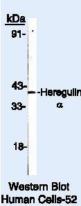 NRG1 Antibody (PA5-16626) in Western Blot