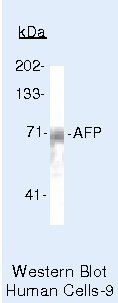 AFP Antibody (PA5-16658) in Western Blot