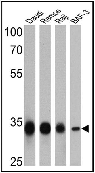CD20 Antibody (PA5-16701) in Western Blot