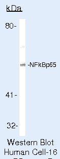 NFkB p65 Antibody (PA5-16758) in Western Blot