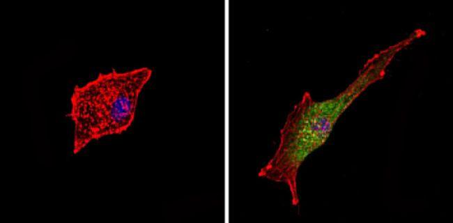 c-Kit Antibody (PA5-16770)