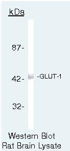 GLUT1 Antibody (PA5-16793) in Western Blot