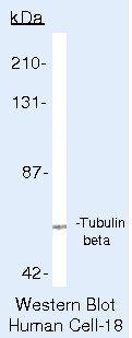 beta Tubulin Antibody (PA5-16863) in Western Blot