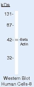 beta Actin Antibody (PA5-16914) in Western Blot
