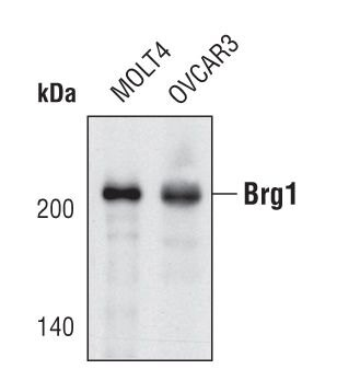 BRG1 Antibody (PA5-17008)