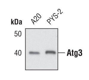ATG3 Antibody (PA5-17018) in Western Blot