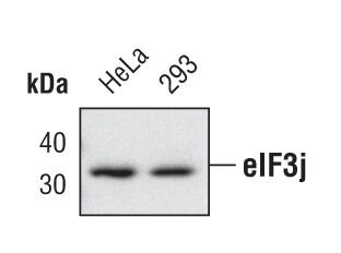 eIF3j Antibody (PA5-17062)