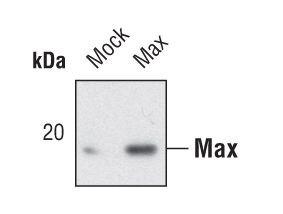 MAX Antibody (PA5-17078) in Western Blot