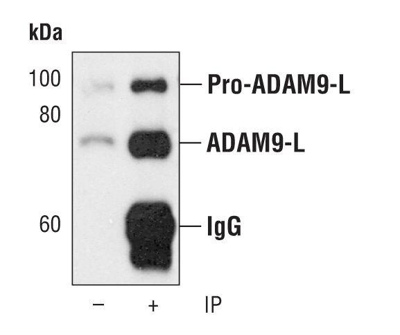 ADAM9 Antibody (PA5-17080) in Immunoprecipitation