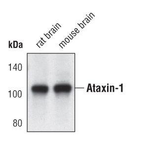 Ataxin 1 Antibody (PA5-17094)