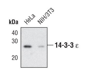 14-3-3 epsilon Antibody (PA5-17104)