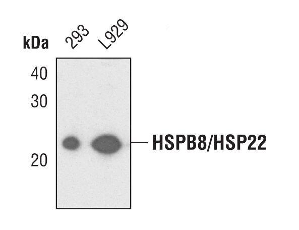 HSPB8 Antibody (PA5-17105)