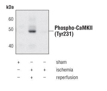 Phospho-CaMKII alpha/beta/delta (Tyr231) Antibody (PA5-17108) in Western Blot