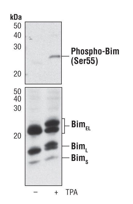 Phospho-Bim pSer55 Antibody (PA5-17124)