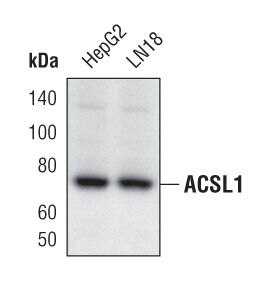 ACSL1 Antibody (PA5-17136) in Western Blot