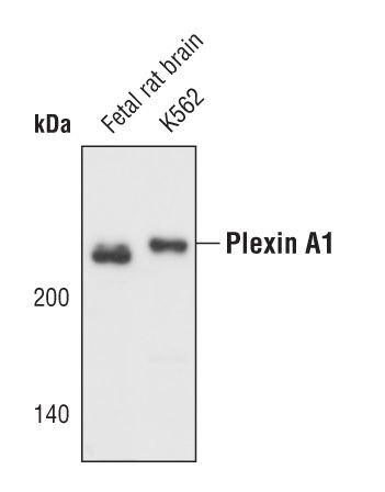 PLXNA1 Antibody (PA5-17147) in Western Blot