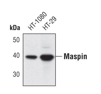 Maspin Antibody (PA5-17160) in Western Blot