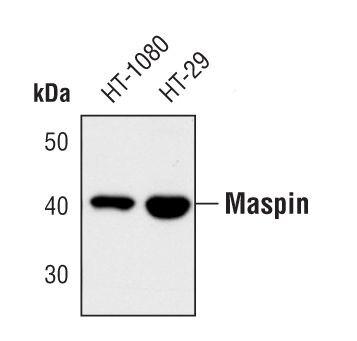 Maspin Antibody (PA5-17161) in Western Blot