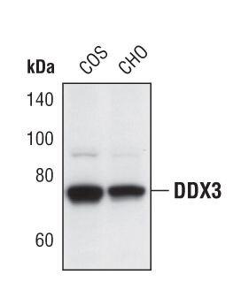 DDX3 Antibody (PA5-17165) in Western Blot