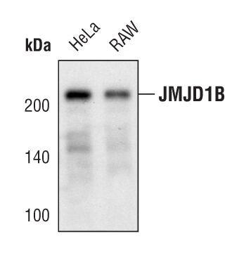 JMJD1B Antibody (PA5-17170) in Western Blot