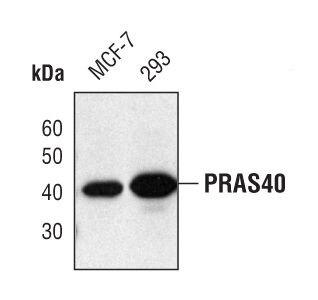 PRAS40 Antibody (PA5-17184)