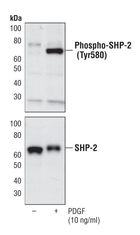 Phospho-SHP-2 (Tyr580) Antibody (PA5-17186) in Western Blot