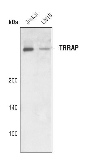 TRRAP Antibody (PA5-17187) in Western Blot