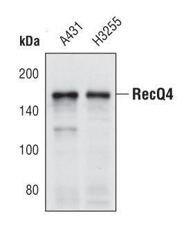 RECQ4 Antibody (PA5-17202)