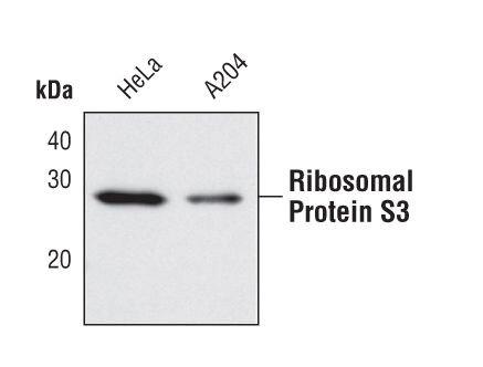 RPS3 Antibody (PA5-17214) in Western Blot