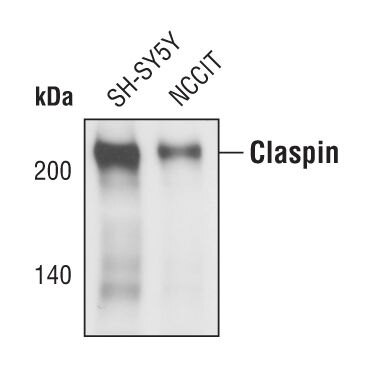 Claspin Antibody (PA5-17227) in Western Blot