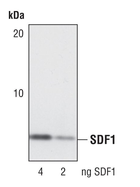 CXCL12 Antibody (PA5-17238) in Western Blot