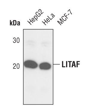 LITAF Antibody (PA5-17242) in Western Blot