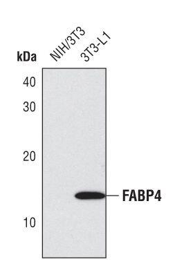FABP4 Antibody (PA5-17248)
