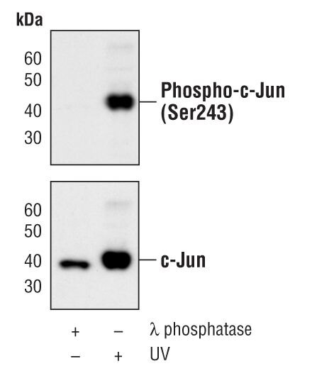 Phospho-c-Jun (Ser243) Antibody (PA5-17261) in Western Blot
