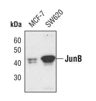 JunB Antibody (PA5-17263) in Western Blot