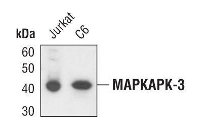 MAPKAPK3 Antibody (PA5-17270) in Western Blot