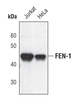 FEN1 Antibody (PA5-17279)