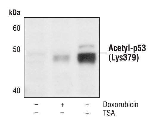 Acetyl-p53 (Lys379) Antibody (PA5-17287) in Western Blot