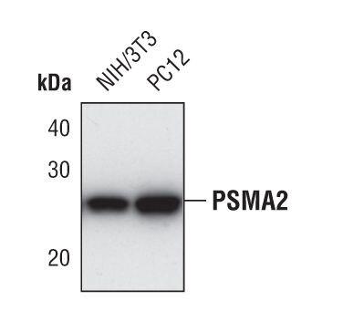 PSMA2 Antibody (PA5-17294) in Western Blot