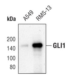 GLI1 Antibody (PA5-17303) in Western Blot