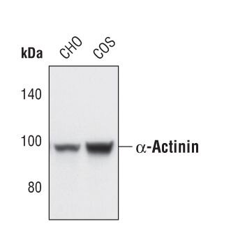 alpha Actinin Antibody (PA5-17308) in Western Blot
