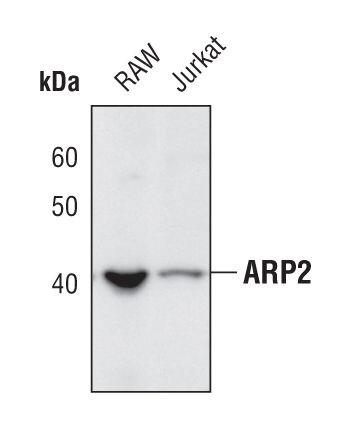 Arp2 Antibody (PA5-17311) in Western Blot