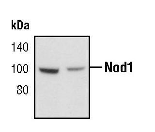 NOD1 Antibody (PA5-17328) in Western Blot
