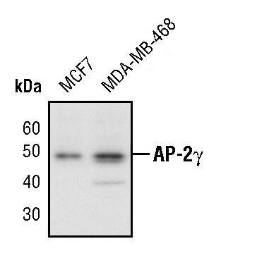 AP2 gamma Antibody (PA5-17330) in Western Blot