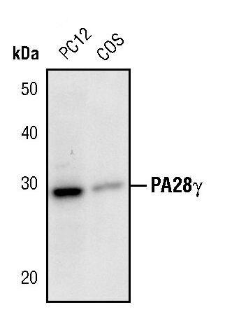 PSME3 Antibody (PA5-17333) in Western Blot
