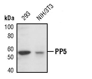 PP5 Antibody (PA5-17339) in Western Blot