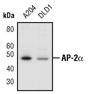 AP2 alpha Antibody (PA5-17359) in Western Blot